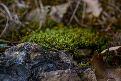 Muschio sulla pietra Immagini Stock