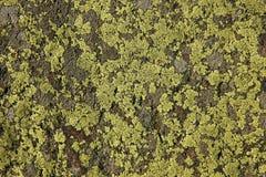 Muschio sulla roccia Immagine Stock Libera da Diritti