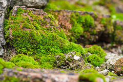 Muschio sulla roccia Fotografie Stock Libere da Diritti