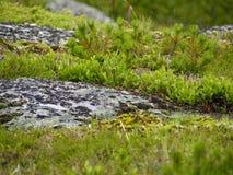 Muschio sulla roccia Immagini Stock