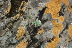 Muschio sulla roccia in montagna Fotografia Stock