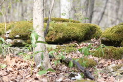 Muschio sulle rocce Fotografie Stock