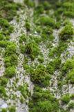 Muschio sulle vecchie mattonelle di tetto Fotografia Stock