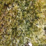 Muschio a terra Fotografie Stock