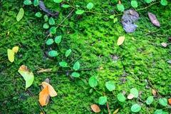 Muschio, thallophytic, lichene Fotografie Stock