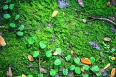 Muschio, thallophytic, lichene Fotografia Stock