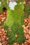 Muschio verde Fotografie Stock Libere da Diritti
