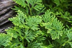 Muschio verde Fotografia Stock