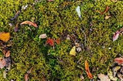 Muschio verde con il fondo secco delle foglie Fotografia Stock Libera da Diritti
