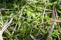 Muschio verde della foresta Immagini Stock