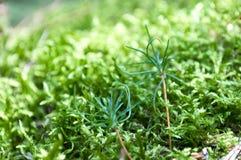 Muschio verde della foresta Immagini Stock Libere da Diritti