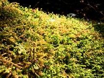 Muschio verde e piccolo fondo verdeggiante dell'albero sul fuoco selettivo del monticello con sole immagini stock