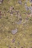 Muschio verde e struttura e fondo del lichene Struttura verde di moos sulla vecchia pietra fotografia stock