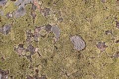 Muschio verde e struttura e fondo del lichene Struttura verde di moos sulla vecchia pietra immagine stock libera da diritti