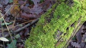 Muschio verde fertile sul tronco di albero caduto in una foresta archivi video