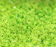 Muschio verde fresco del fondo della rugiada di mattina della primavera Fotografia Stock