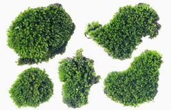 Muschio verde isolato sulla fine bianca del fondo su fotografie stock libere da diritti