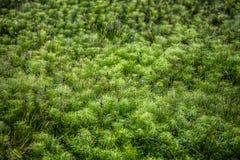 Muschio verde lanuginoso in Islanda fotografia stock