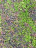 Muschio verde naturale sul mattone rosso della roccia Fotografia Stock Libera da Diritti