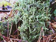 Muschio verde nella foresta Fotografie Stock Libere da Diritti
