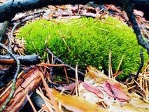 Muschio verde nella foresta Immagine Stock
