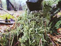 Muschio verde nella foresta Immagini Stock Libere da Diritti