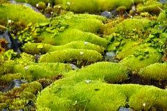Muschio verde ricco e piccoli fiori bianchi. Fotografia Stock