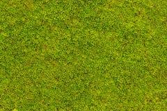 Muschio verde su struttura del muro di cemento, fondo fotografia stock libera da diritti
