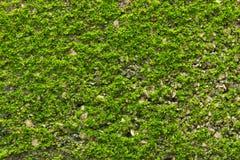 Muschio verde su struttura della parete Immagini Stock Libere da Diritti