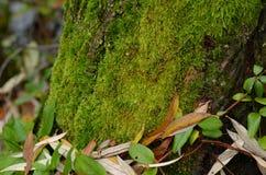 Muschio verde su un albero Fotografia Stock Libera da Diritti