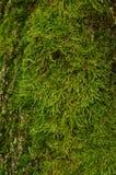 Muschio verde su un albero Fotografie Stock Libere da Diritti