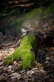 Muschio verde su un albero caduto Fotografia Stock