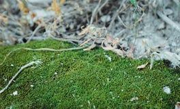 Muschio verde su un'erba asciutta immagini stock libere da diritti