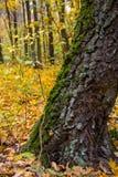 Muschio verde sull'albero Fotografie Stock