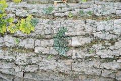 Muschio verde sulla corteccia di un albero immagini stock