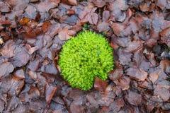 Muschio verde sulla terra con le foglie cadute Immagini Stock
