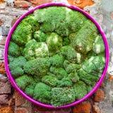 Muschio verde in un involucro del cerchio fotografia stock libera da diritti