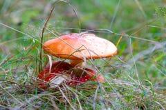 Muschroom för flugsvamp eller för klipsk amanita Arkivfoton