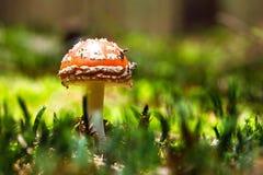 Muschroom för flugsvamp eller för klipsk amanita Arkivbild