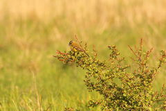 Muscicapa σε έναν κλάδο δέντρων, πουλί Στοκ Φωτογραφίες
