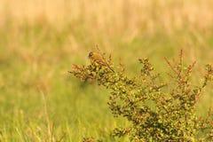 Muscicapa auf einem Baumast, Vogel Stockfotos
