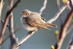 Muscicapa striata, Spotted Flycatcher Royalty Free Stock Image