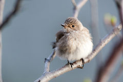 Muscicapa striata, Spotted Flycatcher Royalty Free Stock Photos