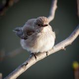 Muscicapa striata, Spotted Flycatcher Stock Photo