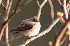 Muscicapa striata, Spotted Flycatcher Stock Image