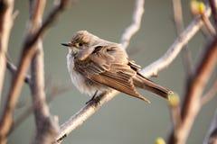 Muscicapa striata, Spotted Flycatcher Stock Photos