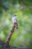 Asian Brown Flycatcher (Muscicapa latirostris) Royalty Free Stock Image
