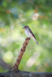 Asian Brown Flycatcher (Muscicapa latirostris) Royalty Free Stock Photography