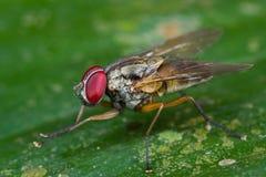 Muscidae cf. myospilavlieg op een groen blad Royalty-vrije Stock Fotografie