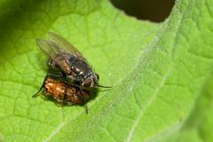 Muscidae fly. The fly family Muscidae is a predator and hunter Royalty Free Stock Images